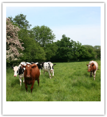 group of brown cows and black and white cows standing in a green pasture