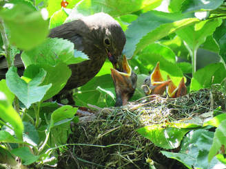 adult grey bird feeding one of three baby birds in a nest