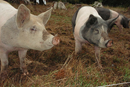 Three pigs standing in a field. One pig is a light pink and grey color, and the others have a pink body with dark grey heads and bottoms.